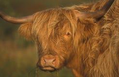 highland szkocki bydła Zdjęcia Royalty Free