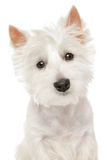 Highland Terrier (westie) on white background. Close-up portrait of Highland white Terrier westie isolated royalty free stock images