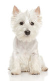 Highland Terrier (westie) on white background. Cute Highland white Terrier westie. Studio portrait royalty free stock images
