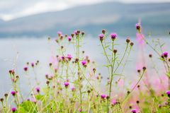 Highland Thistles Stock Images