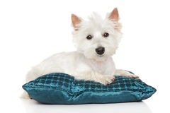 Highland white Terrier on pillow Stock Image