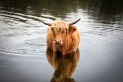 Highlander αγελάδα που στέκεται στο νερό Στοκ Φωτογραφία
