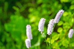 Highlander εγκαταστάσεις φιδιών στις αρχές του καλοκαιριού ιατρικό φυτό στοκ εικόνες με δικαίωμα ελεύθερης χρήσης