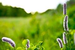 Highlander εγκαταστάσεις φιδιών στις αρχές του καλοκαιριού ιατρικό φυτό στοκ φωτογραφία με δικαίωμα ελεύθερης χρήσης