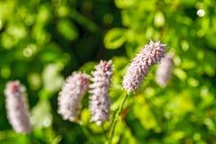 Highlander εγκαταστάσεις φιδιών στις αρχές του καλοκαιριού ιατρικό φυτό στοκ εικόνα