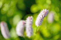 Highlander εγκαταστάσεις φιδιών στις αρχές του καλοκαιριού ιατρικό φυτό στοκ εικόνες