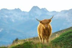Highlander - σκωτσέζικη αγελάδα στοκ εικόνα