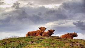 Scottlands HIGHLANDER CATTLE. Highland cattle isle of mull scotland Stock Photos