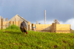 Highlander Black Hen royalty free stock photos