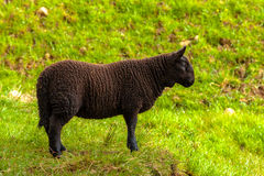 Highlander Black Lamb royalty free stock image