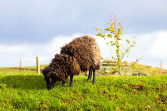 Highlander Black Ram royalty free stock photo