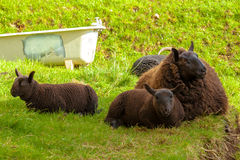Highlander Black Sheeps Royalty Free Stock Photography
