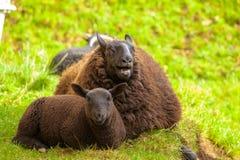 Highlander Black Sheeps Royalty Free Stock Images