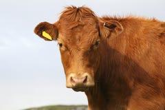 Highlander calf Stock Image
