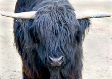 Highlander cow 3 Stock Images
