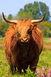Highlander cow. In a grassland Royalty Free Stock Photography