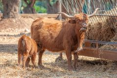 Free Highlander Cow Feeding Her Puppy While Eating Hay Royalty Free Stock Photo - 151408125