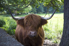 Highlander cow Royalty Free Stock Photos