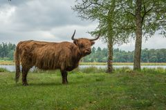 Highlander cow in natural environment Royalty Free Stock Image
