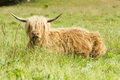 The Highlander cow Scotland Stock Image