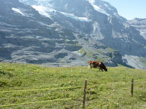 Highlander cow. Somewhere on the way to Jungfrau, Switzerland. A cow pasturing in high parts of the mountains stock photo