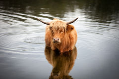Highlander cow standing in the water. A highlander cow standing in the water, staring at the camera Stock Photography