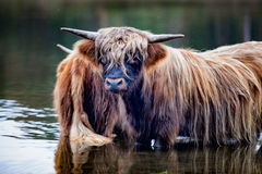 Highlander cow standing in the water. A highlander cow is standing in the water on a warm day Stock Image
