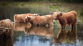 Highlander cows standing in a lake. A couple of highlander cows are standing in a lake,  to get  refreshed on a hot summer's day Stock Photography