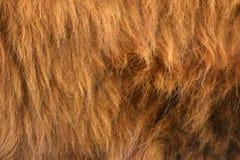 Highlander fur Royalty Free Stock Photos