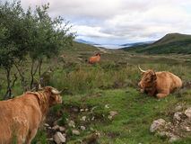 Highlander. The typical beef breed originally from Scotland Royalty Free Stock Images