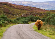 Highlander on the loose. Scottish highlander walking free in the landscape Royalty Free Stock Photos