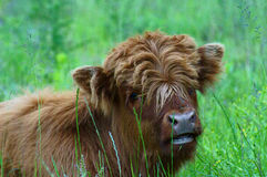 Highlander lying in the grass Royalty Free Stock Photos