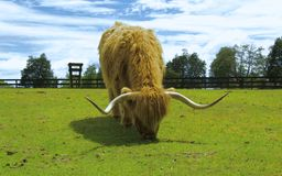 Highlander. In meadow in Tasmania Stock Image