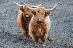 Highlander scotland hairy cow frozen nose Royalty Free Stock Photo