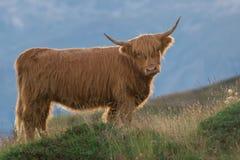 Highlander - Scottish cow Royalty Free Stock Photos