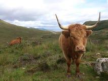 Highlander Scotland. Highlander the typical beef breed originally from Scotland Stock Photography
