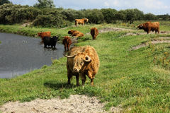 Highlands Cattle royalty free stock photography