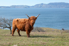 Highlands cattle by the sea Stock Image