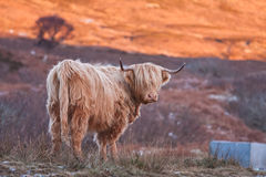 Highlands cow Stock Image