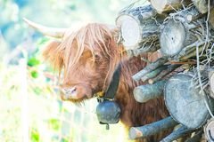 Highlands cow with cowbell at the neck.  stock image