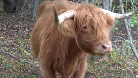 Highlands Cow in the forest stock footage