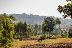 Farm. The farm hills of Kisii Kenya in the morning. Mixed farming is practiced Royalty Free Stock Image