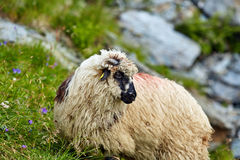 Highlands sheep closeup Royalty Free Stock Image