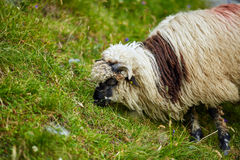 Highlands sheep closeup Royalty Free Stock Image