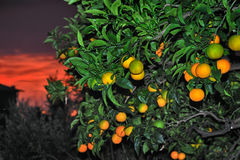 Highlight of ripe sweet orange closeup with red sky sunset Royalty Free Stock Photo