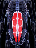 Highlighted abdominal muscles. 3d rendered illustration of the abdominal muscles royalty free illustration