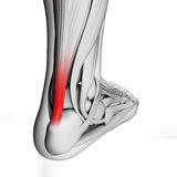 Highlighted achilles tendon. 3d rendered illustration of the achilles tendon Stock Photo
