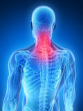 Highlighted back muscles Stock Image