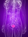 Highlighted bladder Royalty Free Stock Image