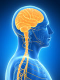 Highlighted brain. 3d rendered illustration - male brain Stock Images